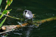 Young Coot In A Pond, Standing...