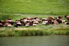 A Flock Of Sheep Walks Along A...