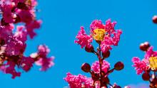 Pink Crepe Myrtle Flowers Against Blue Sky