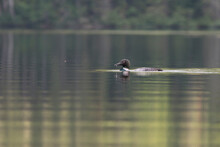 Common Loon In Summer, Quebec, Canada