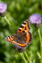 Red Admiral Butterfly Collecti...