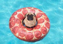 Cute Pug Dog Floating In A Piz...
