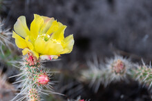 Prickly Pear Cactus In Bandeli...