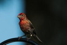 House Finch On A Feeder