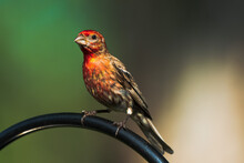House Finch On The Feeder