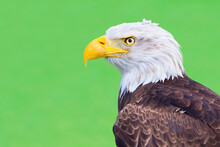 Portrait White-tailed Eagle Isolated On Green Background