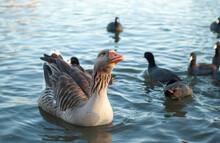 Duck Bird Pond Geese Chicken