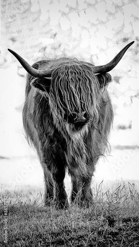 Fotografie, Obraz Schottisches Hochlandrind als Schwarz weiss Bild