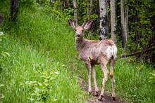 Mule Deer Buck In The Woods Po...