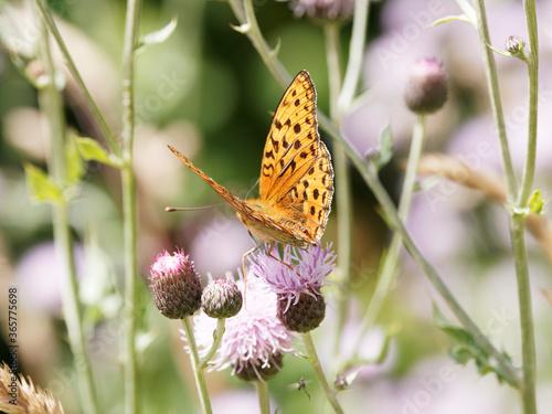 Fotografie, Obraz Fabriciana adippe | Papillon Moyen nacré aux ailes fauves orangé, taches noires