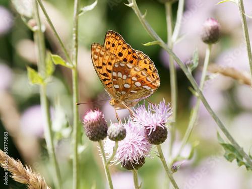 Fototapeta Fabriciana adippe | Papillon Moyen nacré aux ailes fauves orangé, taches noires