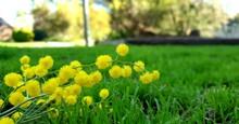 Australian Wattle In The Grass