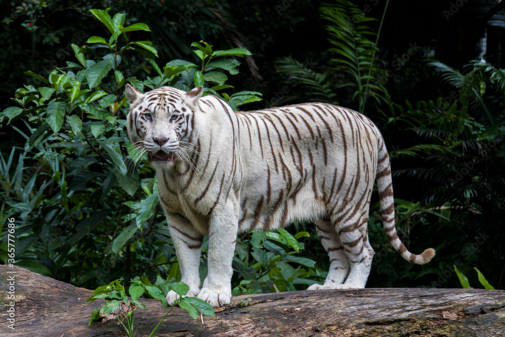 The white tiger is a pigmentation variant of the Bengal tiger.  Such a tiger has the black stripes typical of the Bengal tiger, but carries a white or near-white coat.