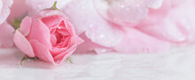 Beautiful Pink Rose With Water...