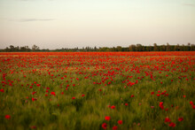 Field, Poppy, Flower, Red, Nature, Summer, Poppies, Meadow, Flowers, Green, Spring, Grass, Plant, Landscape, Bloom, Blossom, Agriculture, Beautiful, Beauty, Flora, Wild, Natural, Wheat, Color, Blue ,p