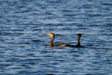 Odpoczywające Kormorany Na Wodzie. Duży Ptak Wodny Powodujący Straty W Gospodarstwach Rybackich Lub Stawach Rybnych
