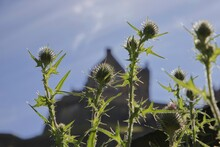 Thistles Growing In The Wild A...