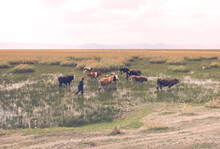 Shepherd Is Driving His Grazing Cows Outside The Mud. Villager And His Animals Are Passing Through The Plain Valley Covered With Water And Grass.