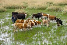 Shepherd Is Among The Grazing Cows And Pushing Them To Go Somewhere Else With His Stick In His Hand.