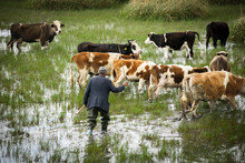 Shepherd Is Guiding His Brown Cows And Animals Towards A Different Area In The Field With Water. Villager Is In The Water And Holding A Stick To Guide His Animals.