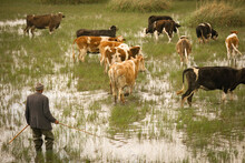 Shepherd Is Looking At His Cows Which Are Grazing On The Field With Water. He Is Holding A Stick In His Hand And Wearing A Jacket. Cows Are In Focus Only.