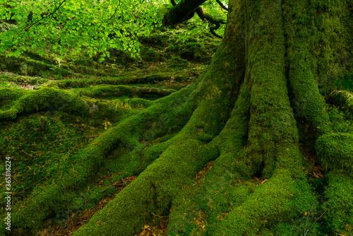 Beech forest, Oianleku, Peñas de Aia Natural Park, Gipuzkoa, Basque Country, Spa Wallpaper Mural