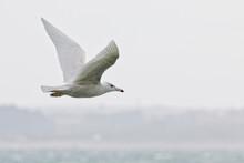 Glaucous Gull (Larus Hyperbore...