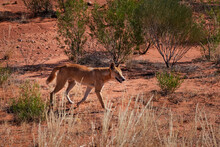 Wild Dingo Walking On The Bush, Looking For Food. Wild Dog, Male, Light Brown Tan Color, Independent Individual Hunting. Endemic Species Of Australia. Kings Canyon, Northern Territory, Australia.