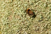 Gartenhummel (Bombus Hortorum)...