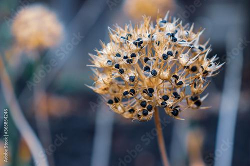 Allium Seed Pod Fototapete