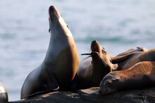 California Sea Lions In La Jol...