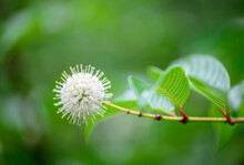 Close Up Of  Buttonbush Flower  ,white And Yellow Buttonbush Flower With Green Leaves In Background