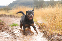 Wet And Muddy Rottweiler Dog P...