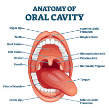 Oral Cavity Anatomy With Educa...