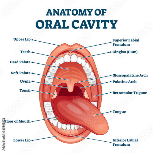 Fotografija Oral cavity anatomy with educational labeled structure vector illustration