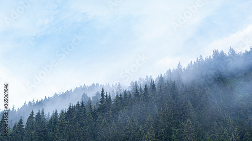 Obraz Spruce wild forest. A dense forest of fir trees in cloudy weather in the mountains. Carpathians. - fototapety do salonu