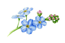 Blue Forget-me-not Flower With...