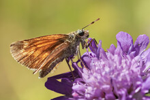 Butterfly (Large Skipper, Ochlodes Sylvanus) Collects Nectar On Wild Flower In Titisee-Neustadt, Germany.
