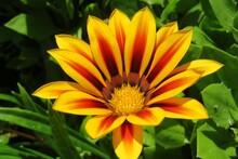 Beautiful Yellow Gazania Flower In The Garden, Closeup