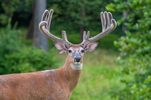 Large White-tailed Deer Buck I...