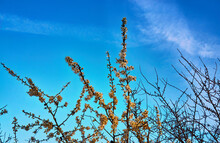Branches With Flowers On The Wild Plum Tree With A Blue Sky.