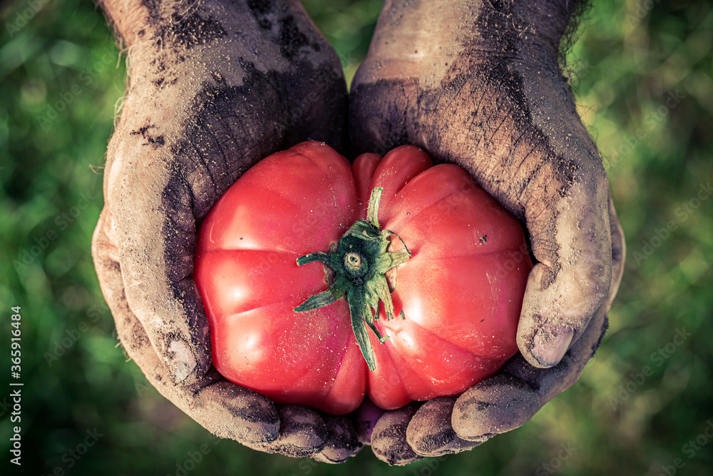 Fototapeta Closeup of tomato holding by dirty hands
