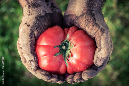 Obraz Closeup of tomato holding by dirty hands - fototapety do salonu