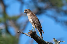 A Red Shouldered Hawk Perched ...