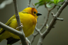 Yellow Taveta Golden Weaver Is Perched High