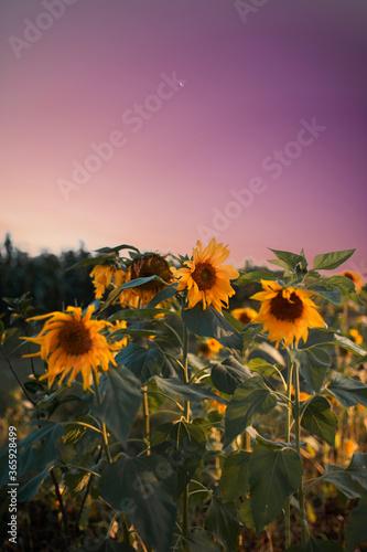 Fotomural Céu tumblr com girassóis