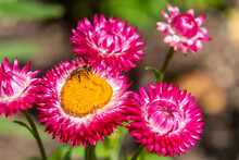 Bee On Pink Strawflower At Garden In Oxford, United Kingdom