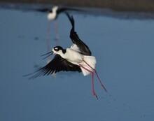 A Black-necked Stilt (Himantop...