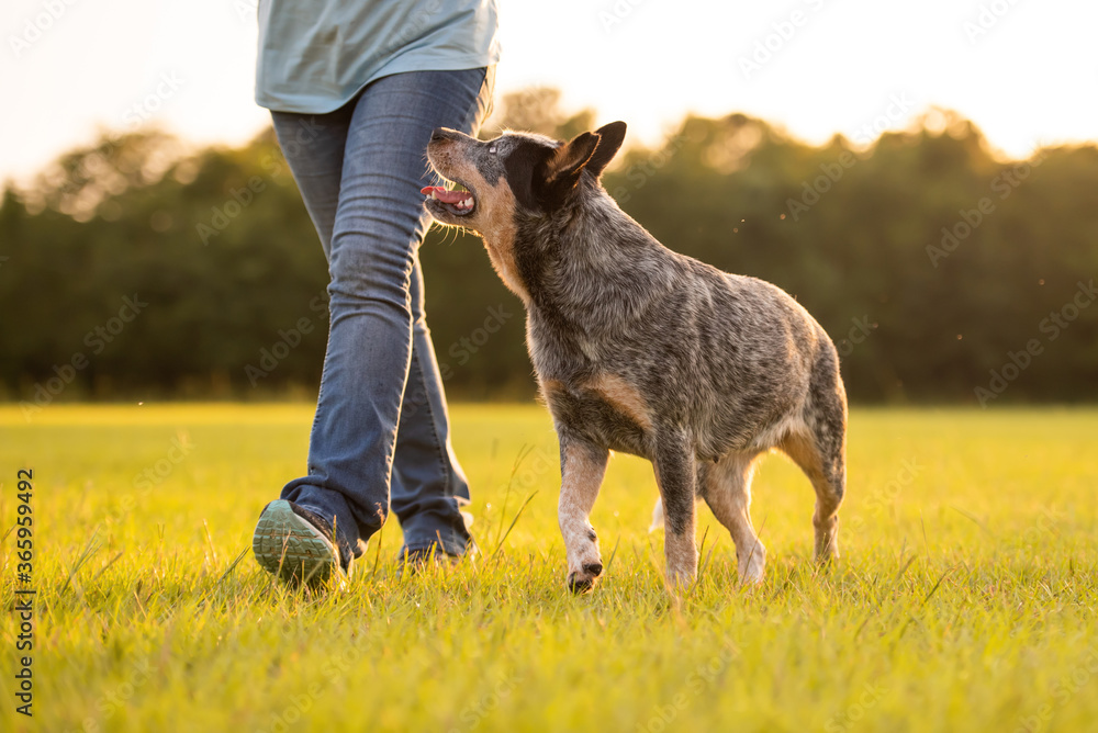 Australian Cattle Dog Blue Heeler healing, walking in a grassy field at sunset, healing perfectly by left side of owner, training