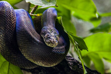 Macklot's Python (Liasis Mackloti) Is A Species Of Python, A Nonvenomous Snake In The Family Pythonidae. It Is Endemic To Indonesia, East Timor, Papua New Guinea, And Coastal Northern Australia.